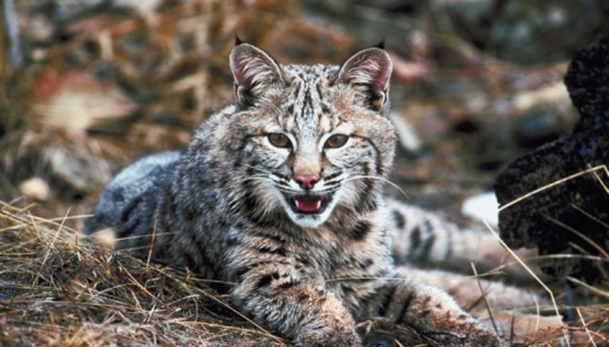 Bobcats are great climbers and swimmers.