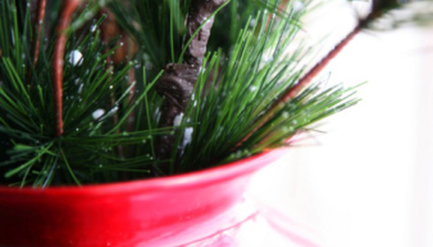 Several types of pine trees work well in containers.