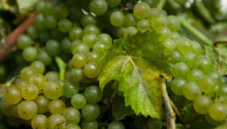 Grapes can be used for making jellies, juices, raisins or wine.
