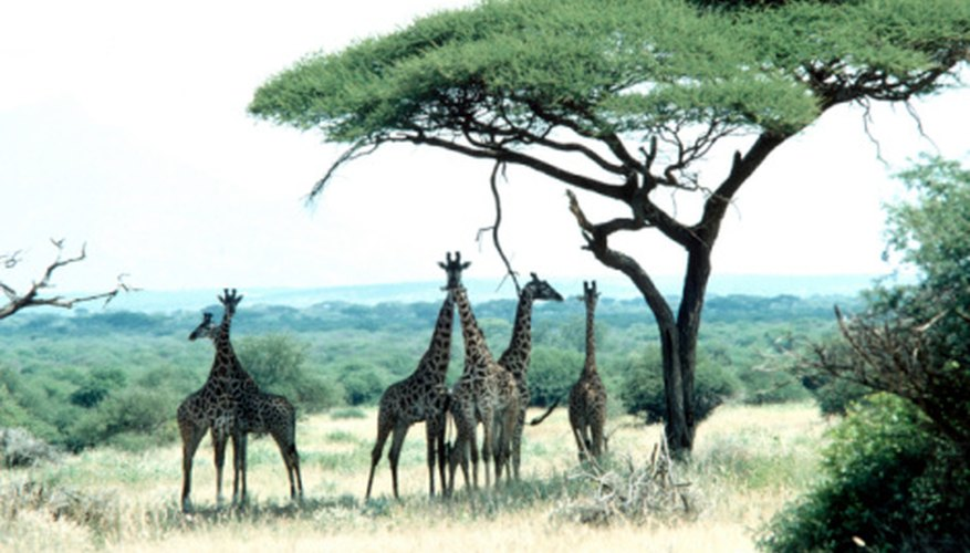 Giraffes enjoying the shade under an umbrella thorn.