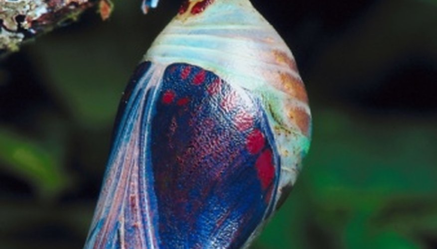 A fascinating transformation occurs inside a chrysalis.