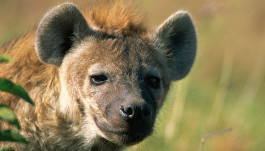 Hyenas not only scavenge, they also hunt.