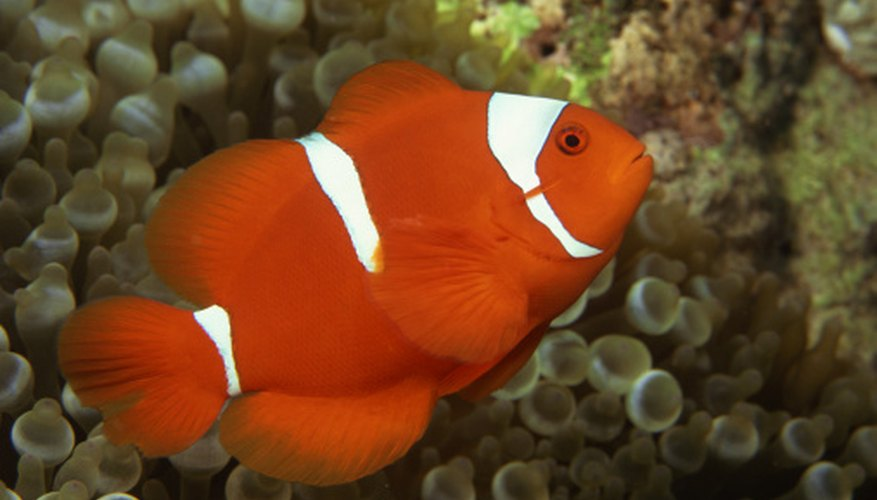 Clown anemonefish live in oceans.