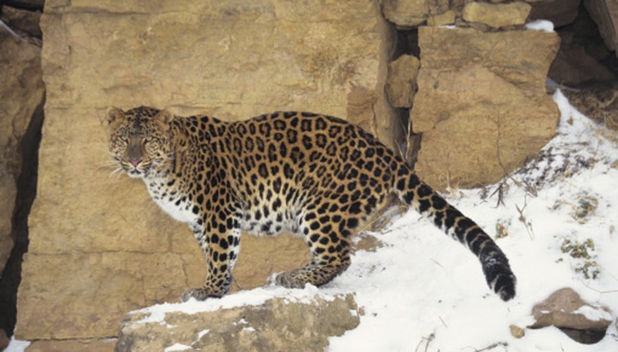 The Amur leopard thrives in extremely cold climates and may be suffereing adverse effects from global climate change.