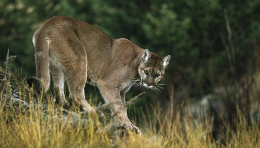 Mountain Lions Found in Kentucky | HomeSteady