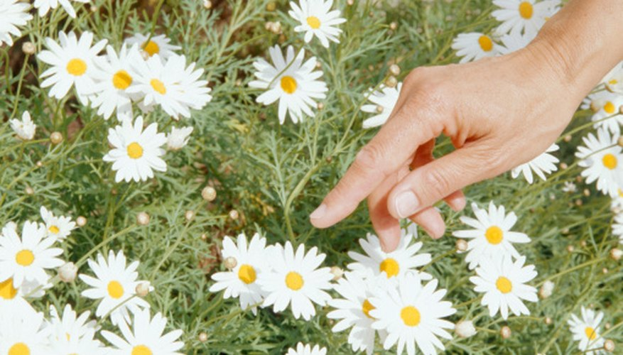 Flowers of German chamomile look similar to small daisies.