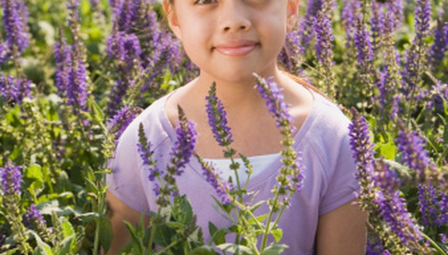Lavender blossoms bright purple and provides a strong aroma.