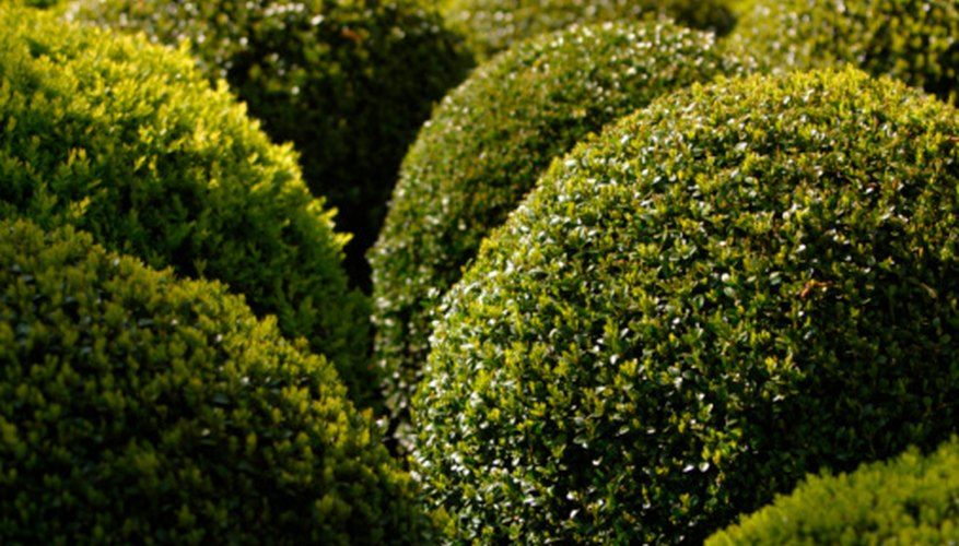 You can create simple hedge sculptures without a guide.