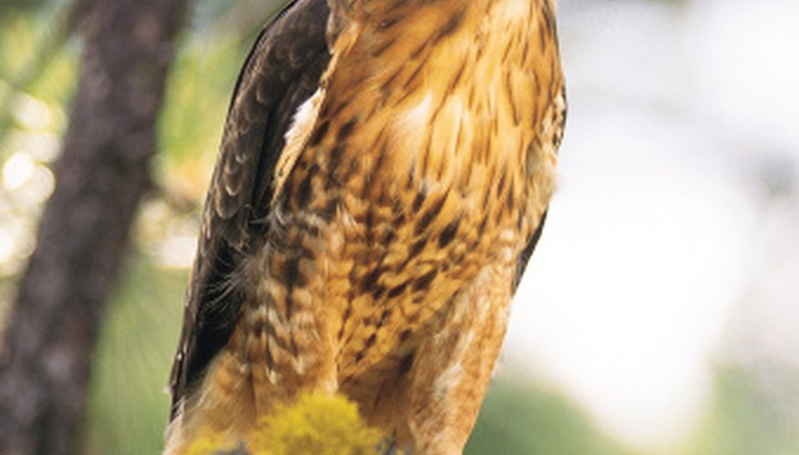 Red-tailed hawks will eat roadkill that is relatively fresh and steal prey from other raptors.