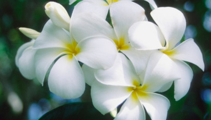 A fragrant cluster of frangipani blooms