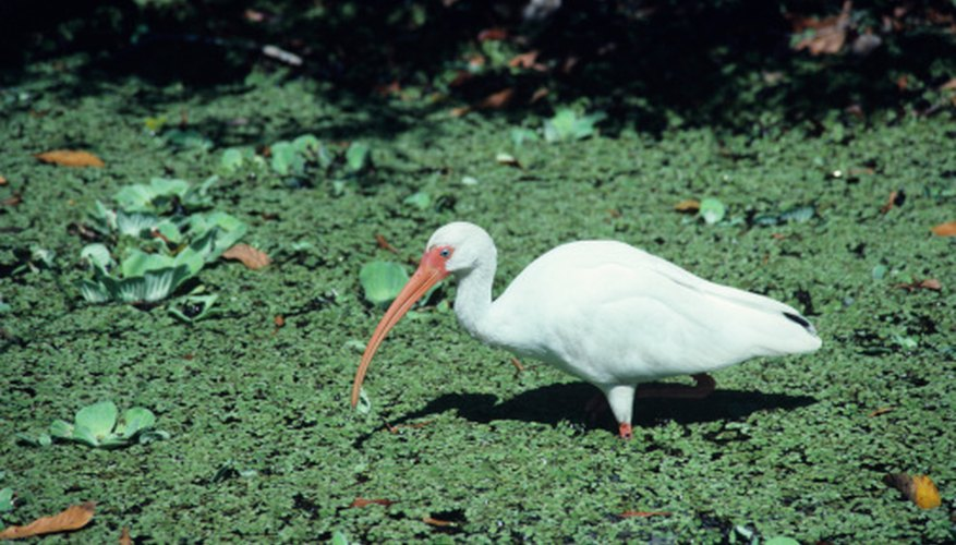 White ibises are found in the Atchafalaya River Basin.
