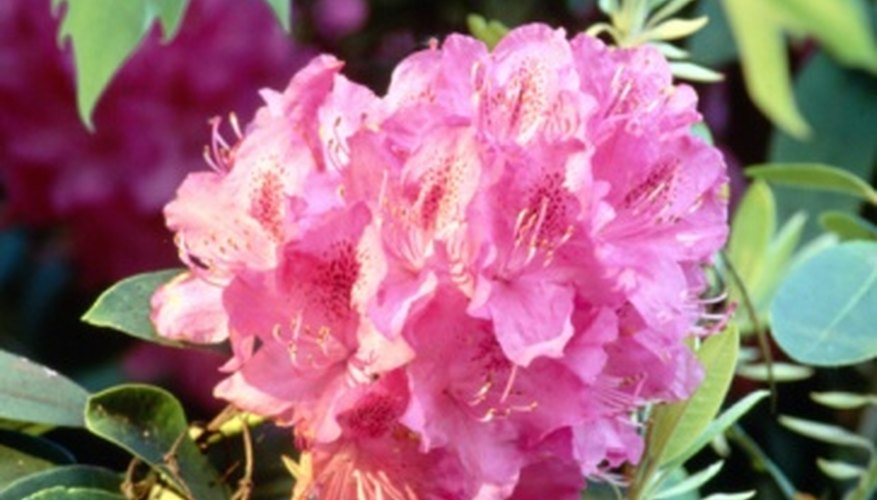 Rhododendrons come in many vibrant colors.