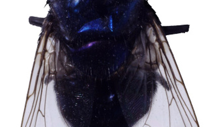 Blow flies have metallic colors on their backs.