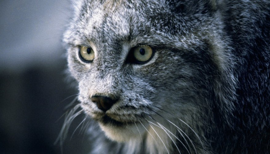Bobcats have pointed ears with black tufts and long check fur that resembles mutton chops.