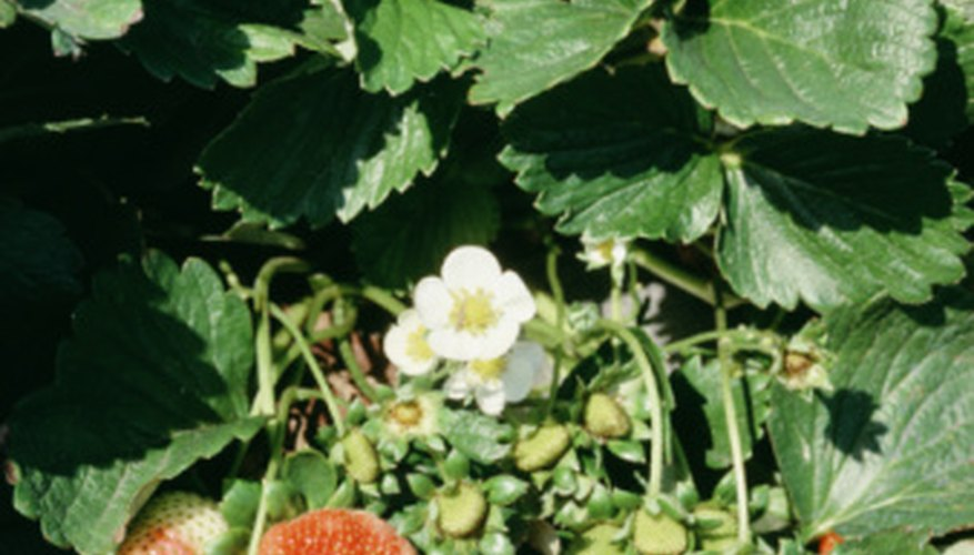 Leaves of strawberry plants create canopies that prevent weed growth.