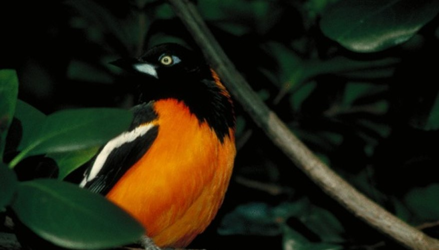The Baltimore oriole is common in the eastern United States.