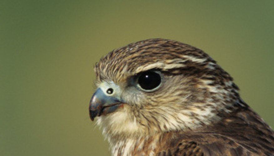 The merlin, a small raptor found in Santa Monica, often harasses larger birds.