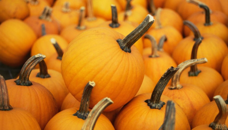 Healthy pumpkins free of white mold disease