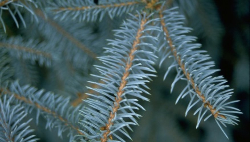 Many blue spruce shrubs feature blue-green needles.