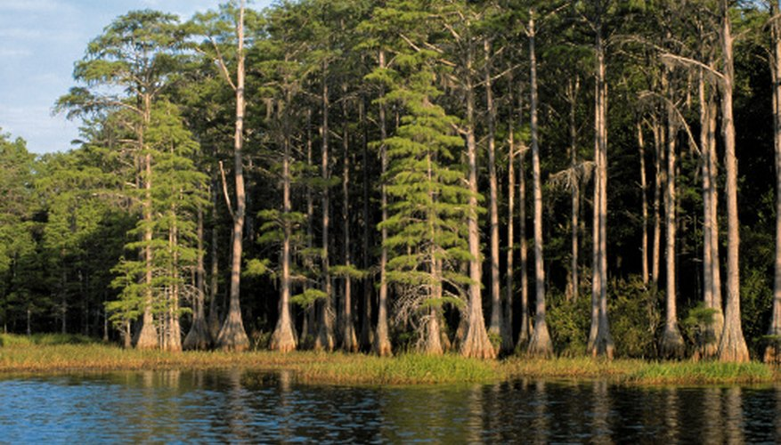 The golden cypress tree grows well in many places.