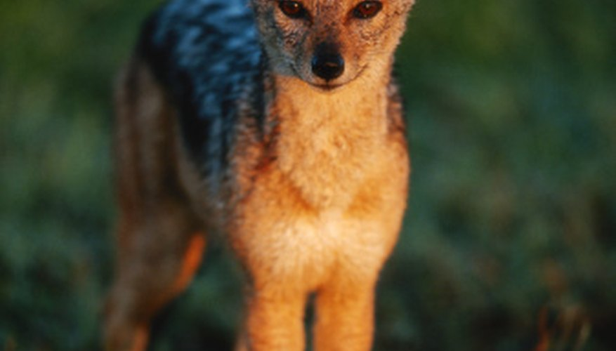 Varieties of jackal are recognizable by their fur color.