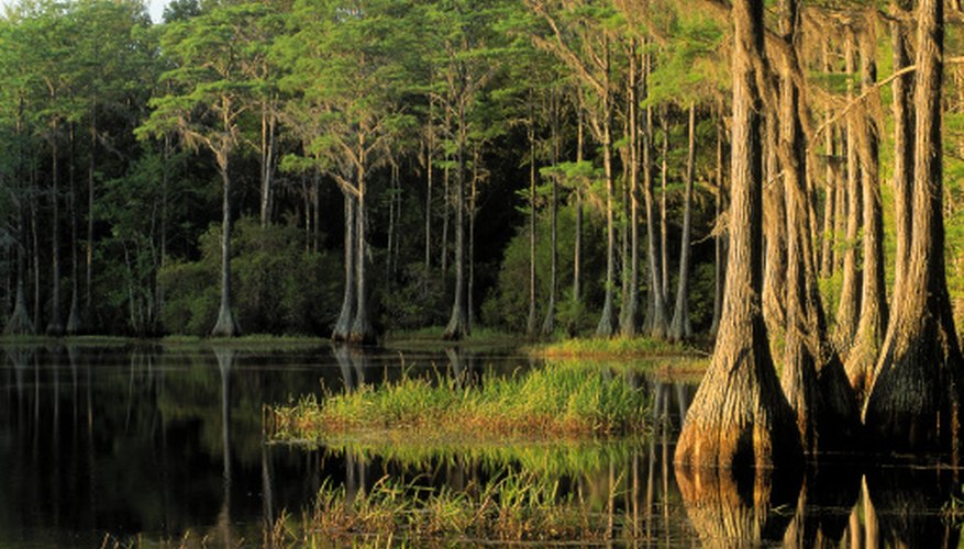 Cypress trees are native to wetlands and are essential in filtering pollutants.