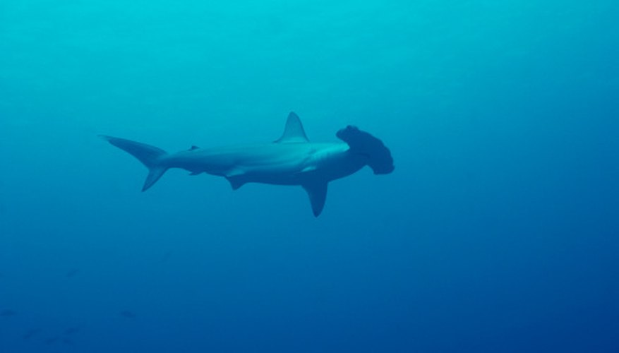 The hammerhead is one of many endangered sharks.