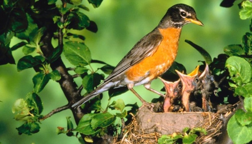 Robin chicks leave the nest two weeks after hatching.