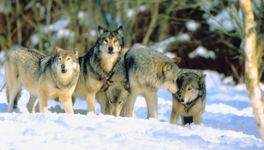 Wolves have motion-responsive sense of sight for chasing prey.