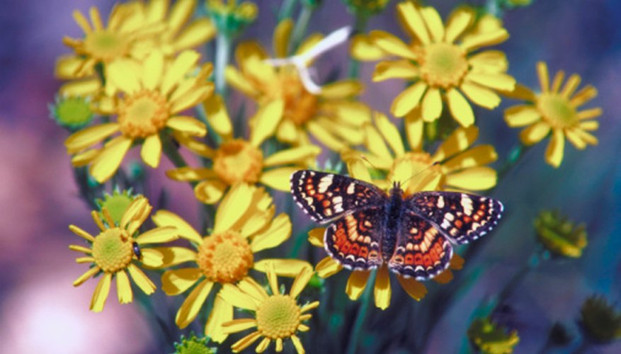 Butterflies feed on the nectar of flowers.
