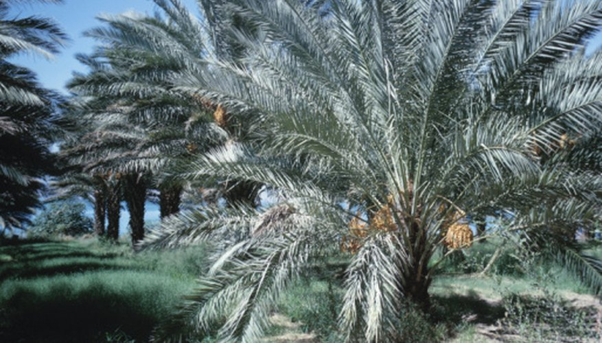 A grove of date palm trees loaded with fruits.