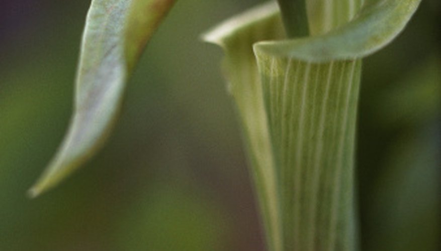 Finding Jack-in-the-pulpit plants can indicate likely places for ginseng.