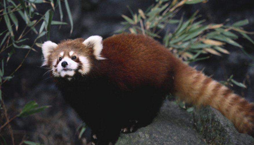 The red panda shows a number of adaptations for a bamboo-heavy diet.
