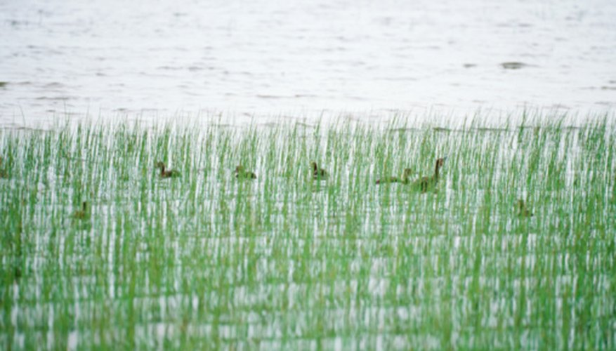 Waterfowl and many other creatures can be found in U.S. lakes and wetlands.