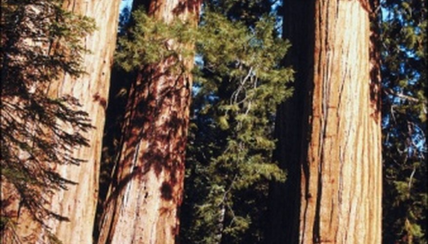 Coastal redwoods are the tallest tree species of the Pacific temperate rain forest.