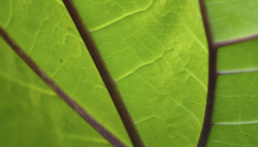 Leaves are often tested for chlorophyll levels.