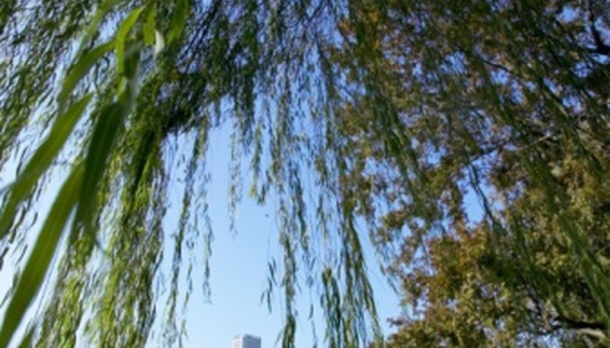 The weeping willow is the largest willow tree found in the United States.