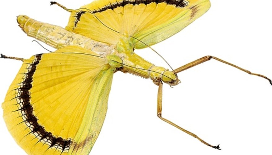 Can this stick insect convince you it's a bad-tasting butterfly?
