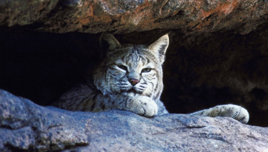 All types of bobcats are classified as Lynx rufus, then divided into subspecies.