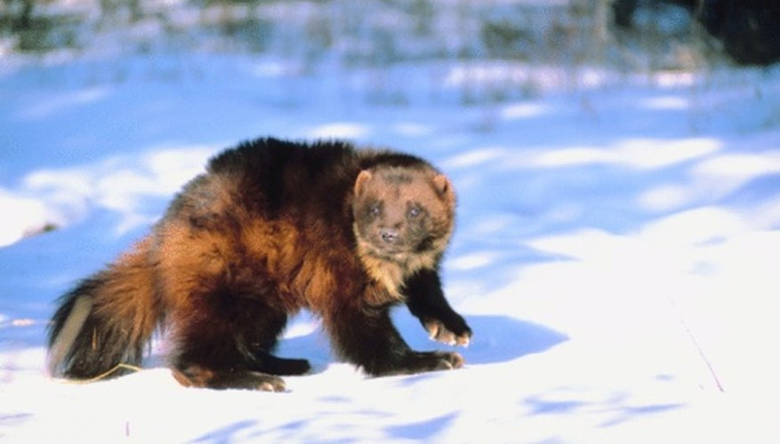 Wolverines are ferocius predator of the tundra and forest.