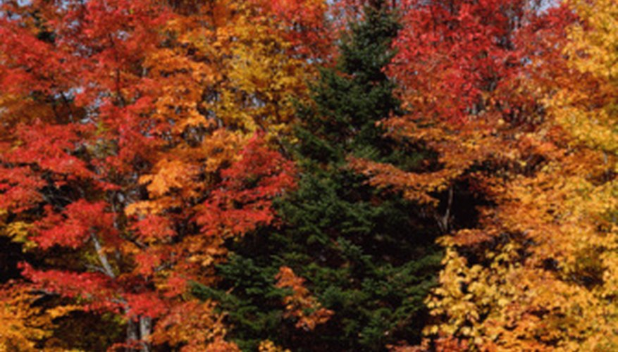 Autumn brings beautiful colors to the trees in a a deciduous forest.