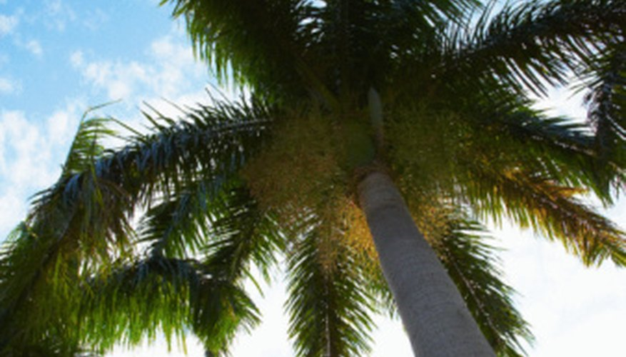More than 1,000 species of palm trees grow around the world.