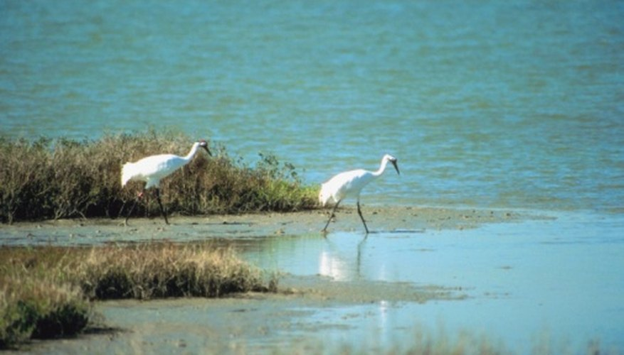 Whooping cranes are the tallest North American birds.