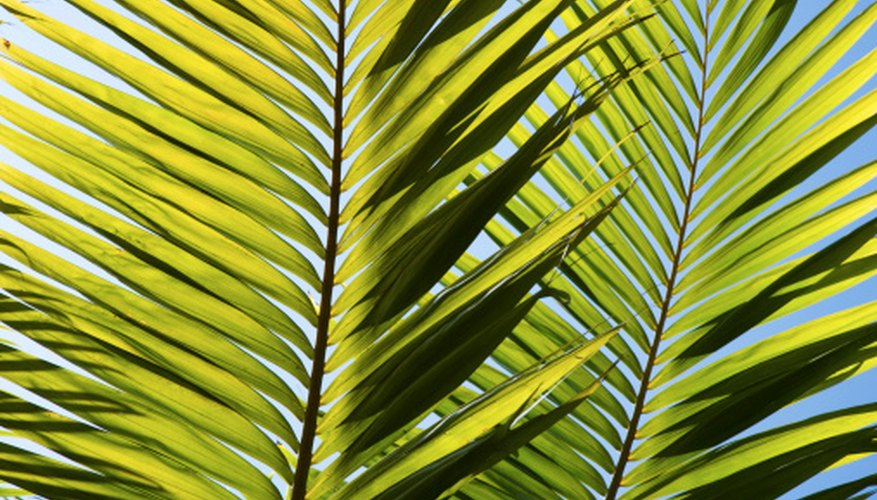 Palm fronds are frequent targets of disease.