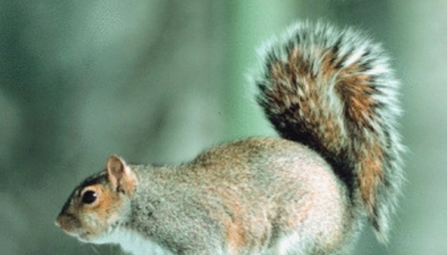 Gray squirrels are common tree dwellers.