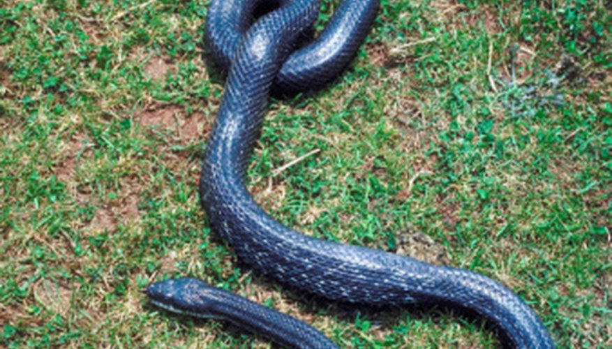 93ef96769e614e24a9f40864c98a4534 facts on black rat snakes sciencing