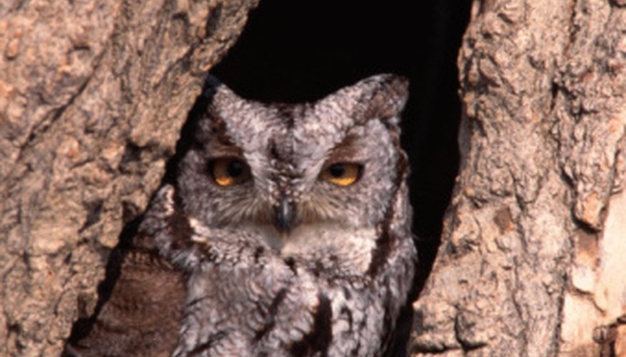 An eastern screech owl in a tree