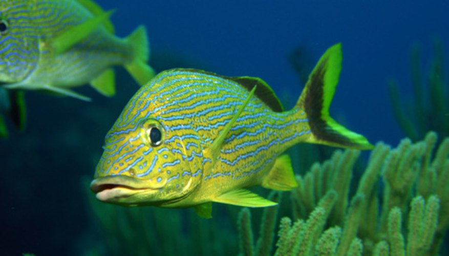 This fish has an oval-shaped body with very pointy fins and tail.