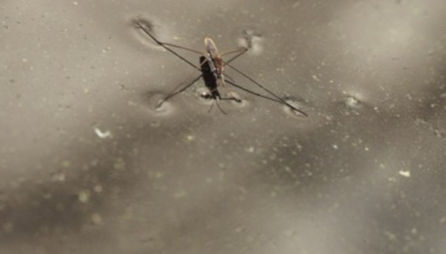 Water striders glide on the top of water surfaces.