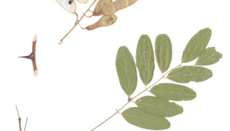 Locust trees have compound leaves and pealike seed pods.